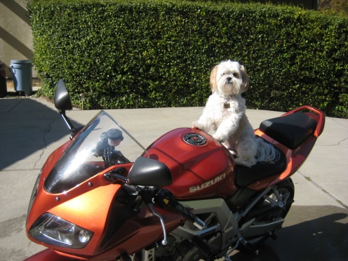 Twinkie riding on the SV650s :) Ain't he cute?